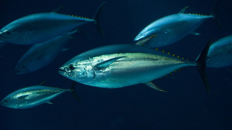 Former chief executive convicted in tuna cartel