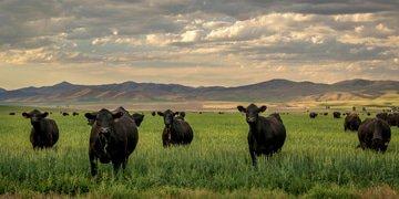 Senators call for investigation of cattle markets