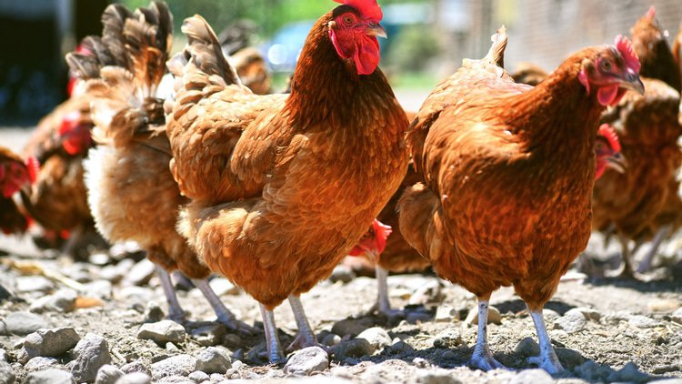 Egypt takes aim at suspected chicken broker cartel